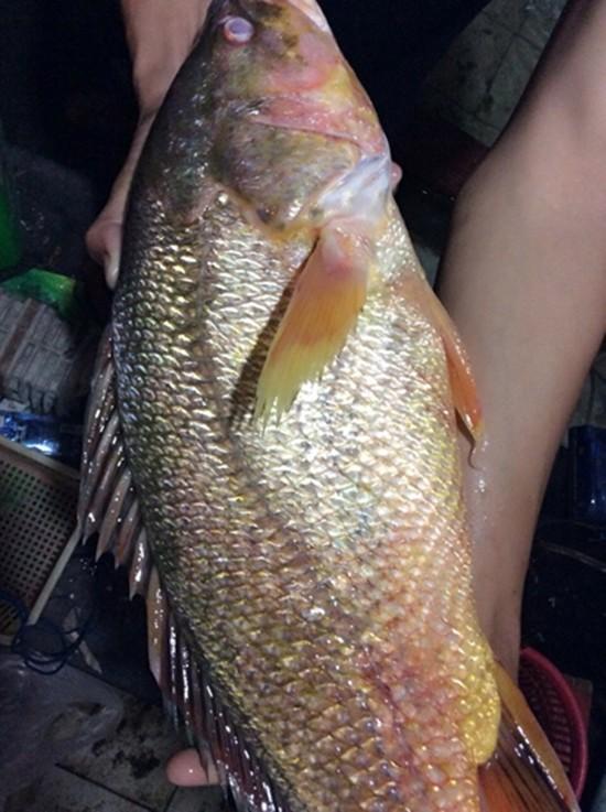 Ngư dân bắt được cá sủ vàng tiền tỷ trên sông Đồng Nai - ảnh 2