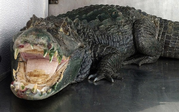 Tên trộm xấu số chạy trốn cảnh sát thì bị cá sấu ăn thịt - ảnh 2