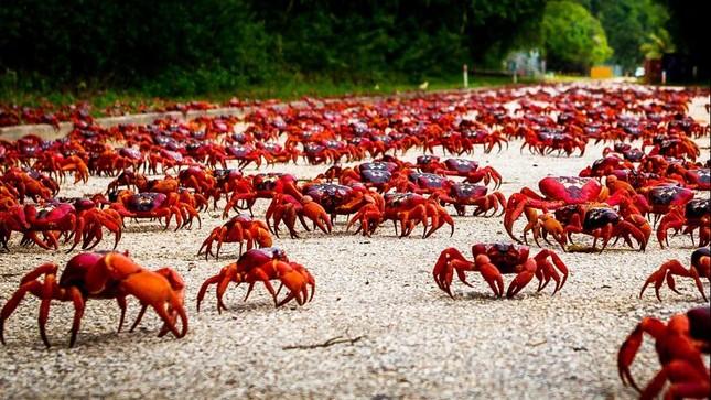Hàng triệu chú cua đỏ diễu hành dày đặc trên đảo Giáng sinh - ảnh 4