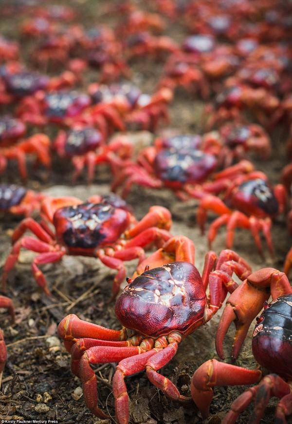 Hàng triệu chú cua đỏ diễu hành dày đặc trên đảo Giáng sinh - ảnh 3
