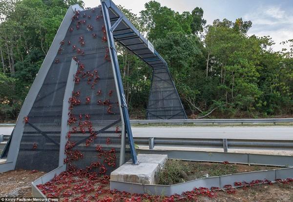 Hàng triệu chú cua đỏ diễu hành dày đặc trên đảo Giáng sinh - ảnh 5