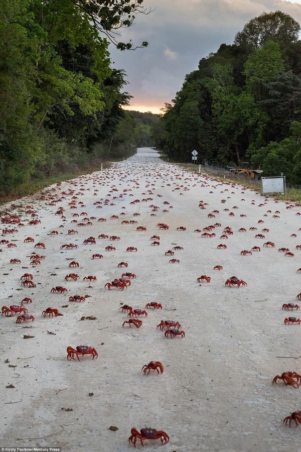 Hàng triệu chú cua đỏ diễu hành dày đặc trên đảo Giáng sinh - ảnh 1