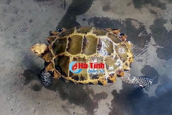 Bắt được rùa vàng quý hiếm giá trăm triệu ở Hà Tĩnh - ảnh 1