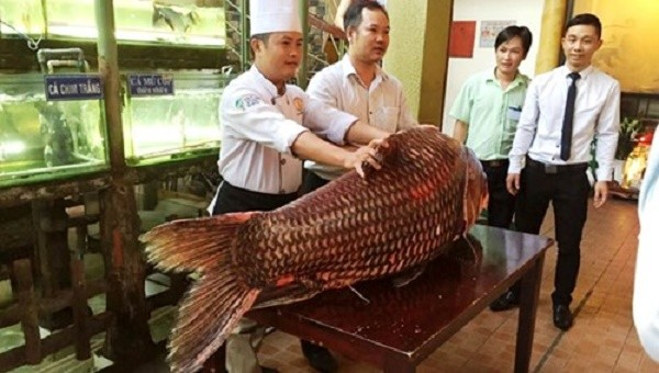 Cá hô đỏ nặng 130kg giá gần nửa tỉ đồng - ảnh 1