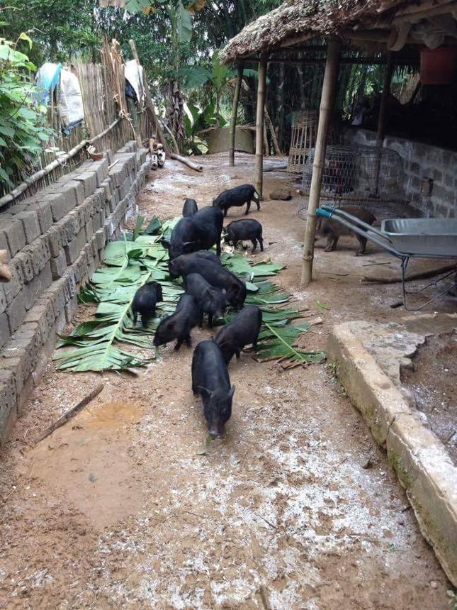 Đặc sản lợn rừng ăn tăng trọng, uống thuốc ngủ chờ Tết - ảnh 3