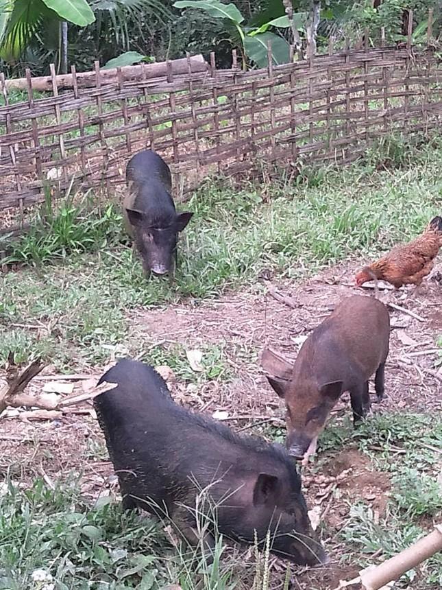Đặc sản lợn rừng ăn tăng trọng, uống thuốc ngủ chờ Tết - ảnh 2