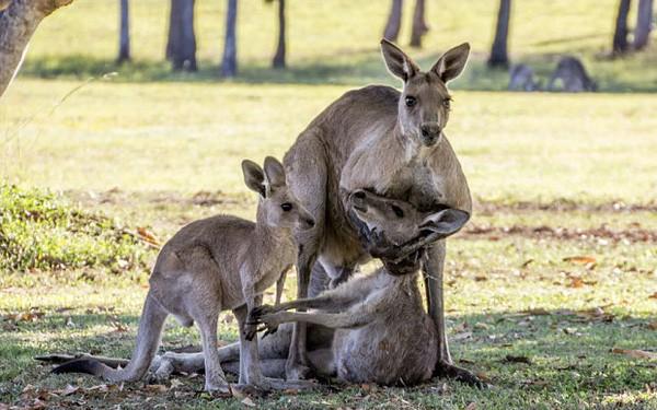 Cảm động hình ảnh chuột túi mẹ sắp qua đời vẫn ôm chặt lấy con - ảnh 1