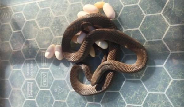 Hoảng hồn phát hiện rắn độc ấp 15 quả trứng dưới gầm tủ lạnh - ảnh 1