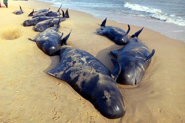 Bí ẩn đằng sau câu chuyện cá voi dạt bờ 'tự sát' hàng loạt - ảnh 2