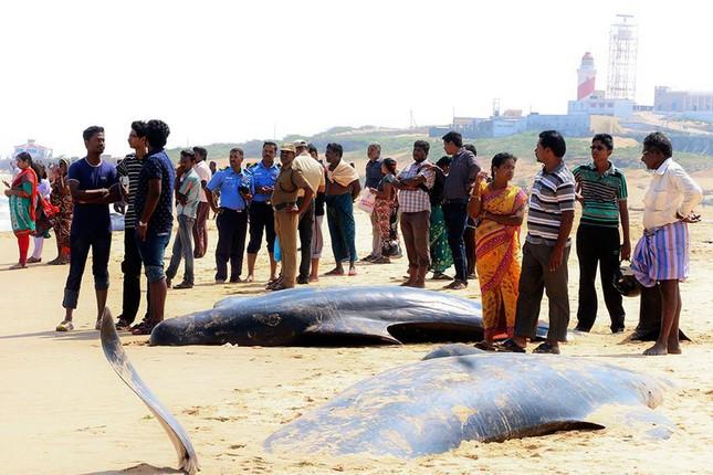 Bí ẩn đằng sau câu chuyện cá voi dạt bờ 'tự sát' hàng loạt - ảnh 4