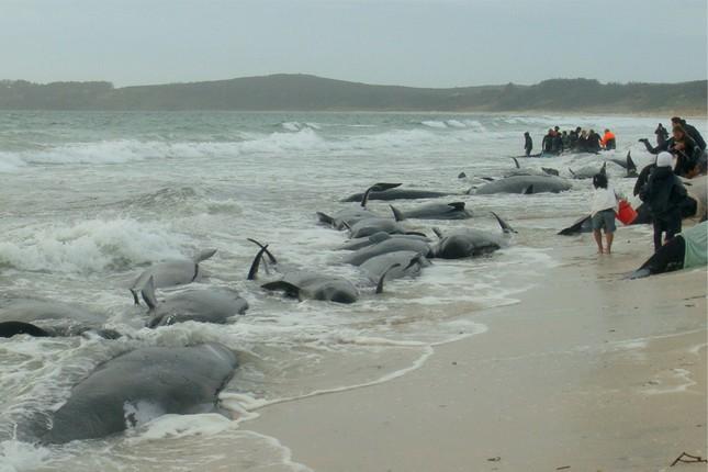 Bí ẩn đằng sau câu chuyện cá voi dạt bờ 'tự sát' hàng loạt - ảnh 3