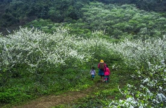 Gợi ý 5 điểm ngắm hoa mận đẹp ở vùng Tây Bắc - ảnh 4