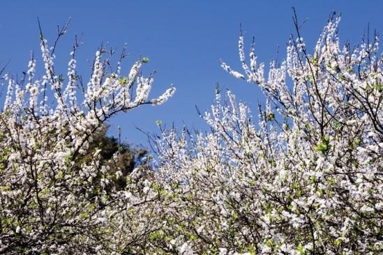 Gợi ý 5 điểm ngắm hoa mận đẹp ở vùng Tây Bắc - ảnh 3