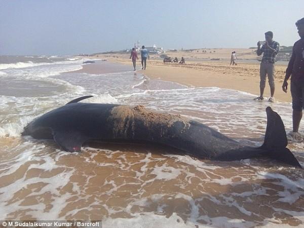 Bí ẩn về vụ tự sát hàng loạt của cá voi trên bờ biển Ấn Độ - ảnh 1