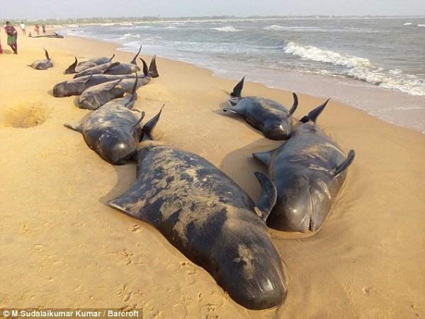 Bí ẩn về vụ tự sát hàng loạt của cá voi trên bờ biển Ấn Độ - ảnh 2