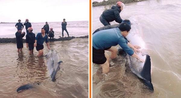 Người dân xúm vào giải cứu cá voi bị mắc cạn ở Nam Định - ảnh 1