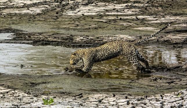 Báo đốm 'biến dạng' sau khi lặn ngụp sâu dưới bùn để bắt cá - ảnh 4