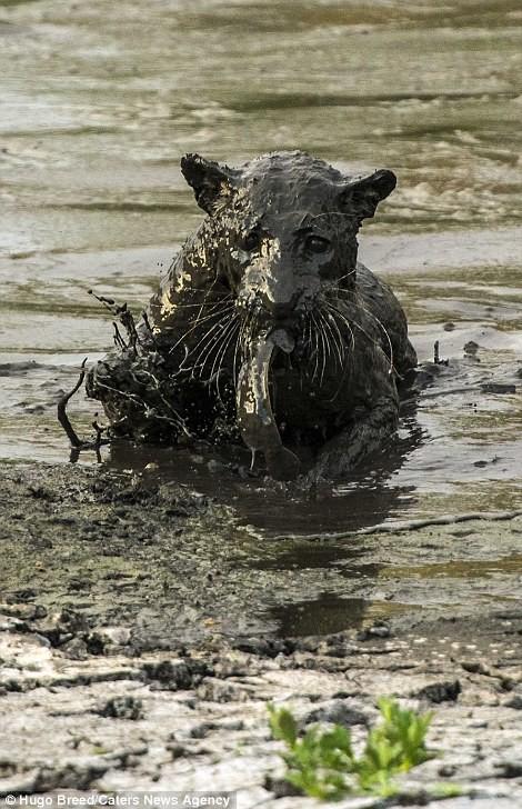 Báo đốm 'biến dạng' sau khi lặn ngụp sâu dưới bùn để bắt cá - ảnh 9