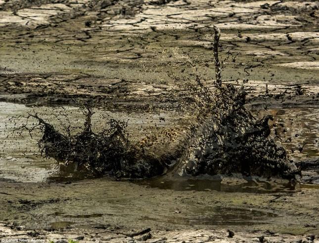Báo đốm 'biến dạng' sau khi lặn ngụp sâu dưới bùn để bắt cá - ảnh 5