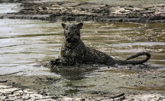 Báo đốm 'biến dạng' sau khi lặn ngụp sâu dưới bùn để bắt cá - ảnh 7