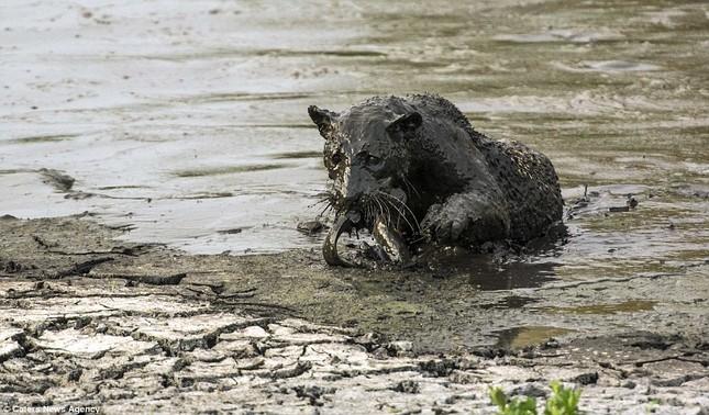 Báo đốm 'biến dạng' sau khi lặn ngụp sâu dưới bùn để bắt cá - ảnh 8