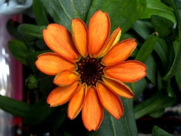 NASA công bố hình ảnh bông hoa đầu tiên nở trên trạm vũ trụ ISS - ảnh 1