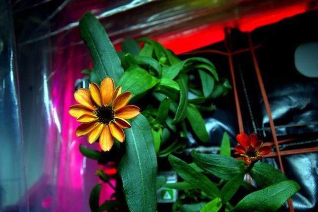 Bông hoa đầu tiên của NASA nở trong không gian - ảnh 3