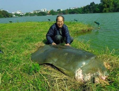 'Cụ' rùa Hồ Gươm và lần vớt lưới trị bệnh đáng nhớ - ảnh 1