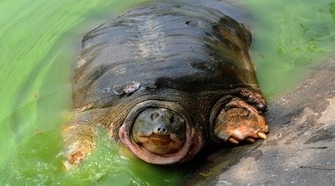 'Cụ' rùa Hồ Gươm và lần vớt lưới trị bệnh đáng nhớ - ảnh 2