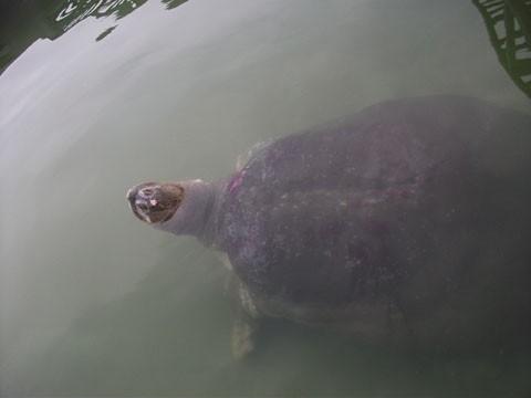 'Cụ' rùa Hồ Gươm và lần vớt lưới trị bệnh đáng nhớ - ảnh 4