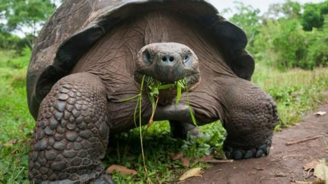 Những sự thật chưa ai biết về các 'cụ rùa' khổng lồ - ảnh 4