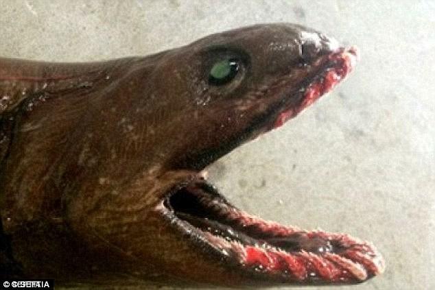 Bắt được 'cá ếch đi bộ' có nhát đớp nhanh nhất thế giới - ảnh 6