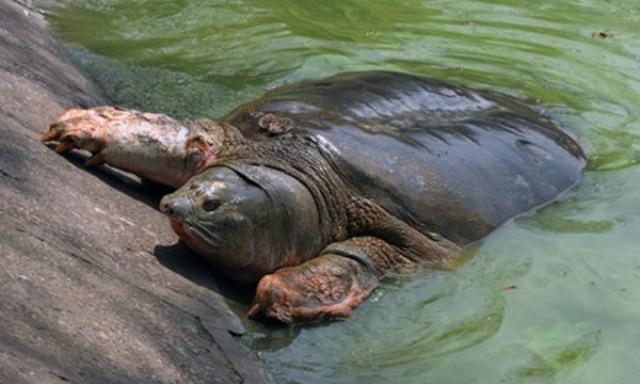 PGS Trần Lâm Biền: Không ai gọi rùa hồ Gươm bằng 'cụ' cả - ảnh 2