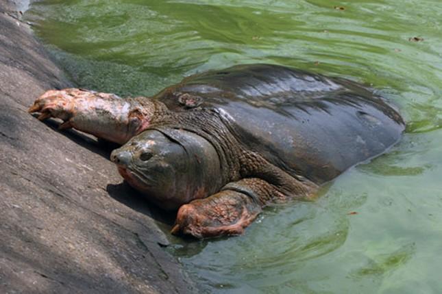 Ý tưởng đưa rùa Đồng Mô về thay thế 'cụ' rùa gây tranh cãi - ảnh 1