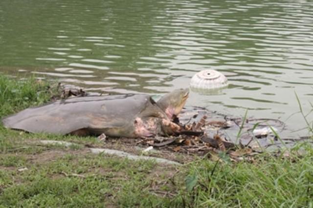 Một số hình ảnh đáng nhớ về cụ rùa của PGS Hà Đình Đức - ảnh 1