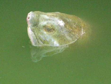Một số hình ảnh đáng nhớ về cụ rùa của PGS Hà Đình Đức - ảnh 8