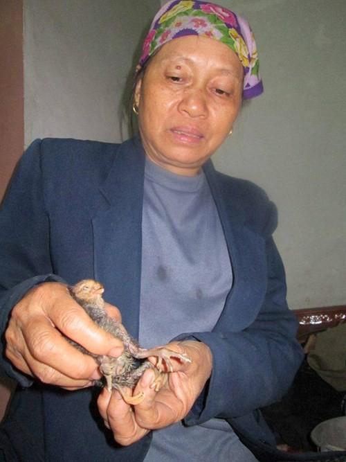 Kỳ lạ gà con 4 chân ở Nghệ An - ảnh 3