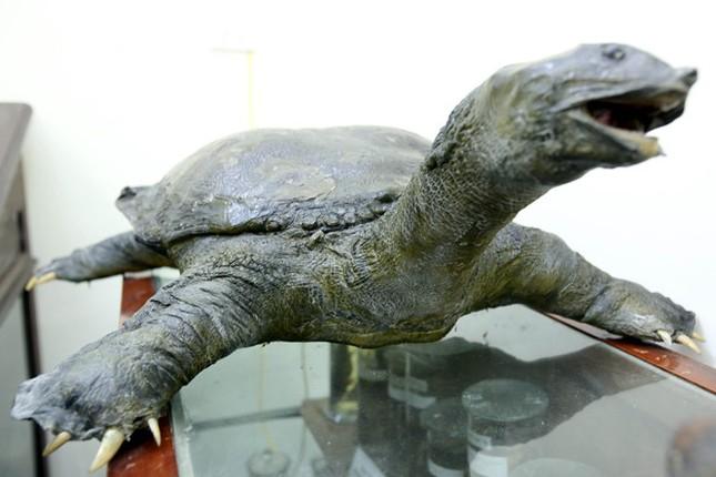 Tiêu bản cụ rùa Hồ Gươm sẽ được xử lý như thế nào? - ảnh 1