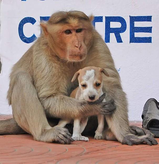 Kì lạ mẹ khỉ nhận nuôi, chăm sóc chó con như con đẻ - ảnh 9