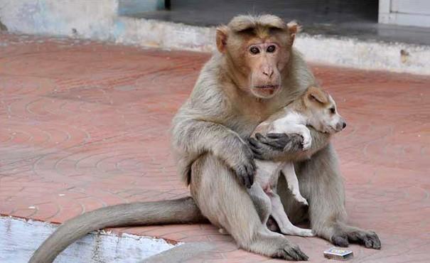 Kì lạ mẹ khỉ nhận nuôi, chăm sóc chó con như con đẻ - ảnh 8