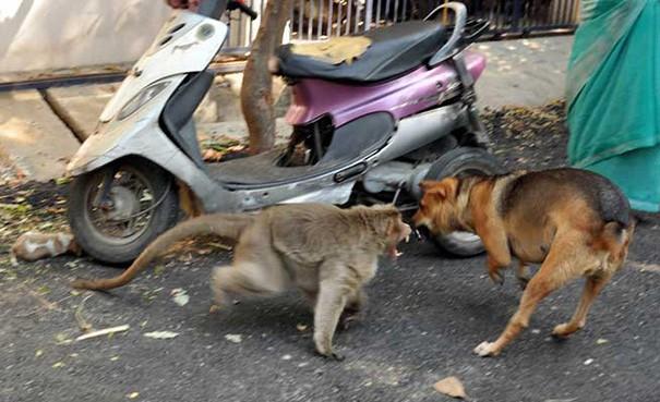 Kì lạ mẹ khỉ nhận nuôi, chăm sóc chó con như con đẻ - ảnh 7
