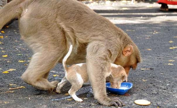 Kì lạ mẹ khỉ nhận nuôi, chăm sóc chó con như con đẻ - ảnh 6