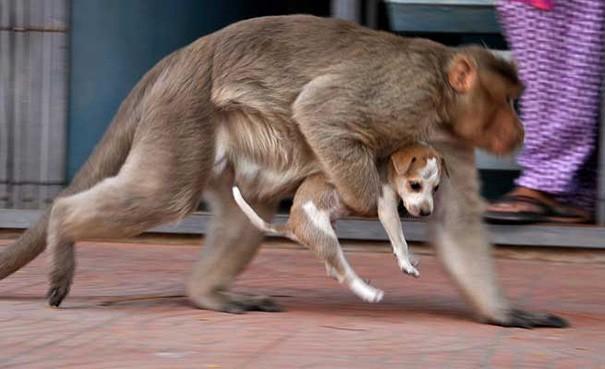 Kì lạ mẹ khỉ nhận nuôi, chăm sóc chó con như con đẻ - ảnh 5