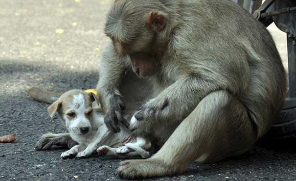 Kì lạ mẹ khỉ nhận nuôi, chăm sóc chó con như con đẻ - ảnh 4