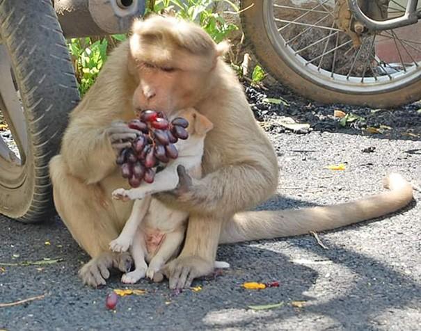 Kì lạ mẹ khỉ nhận nuôi, chăm sóc chó con như con đẻ - ảnh 3