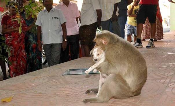 Kì lạ mẹ khỉ nhận nuôi, chăm sóc chó con như con đẻ - ảnh 2
