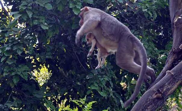 Kì lạ mẹ khỉ nhận nuôi, chăm sóc chó con như con đẻ - ảnh 1