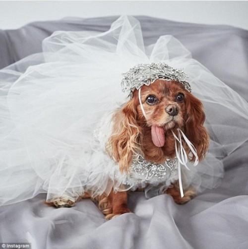 Váy cưới hơn 200 triệu, vòng cưới 2,9 tỷ của cặp chó nổi tiếng - ảnh 4