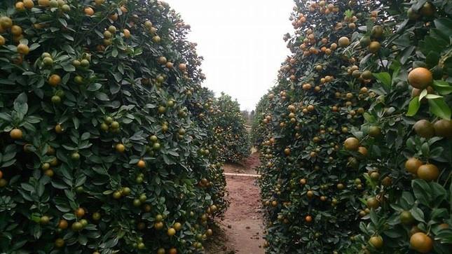 Vườn quất tiền tỷ của lão nông đất Thành Nam - ảnh 3