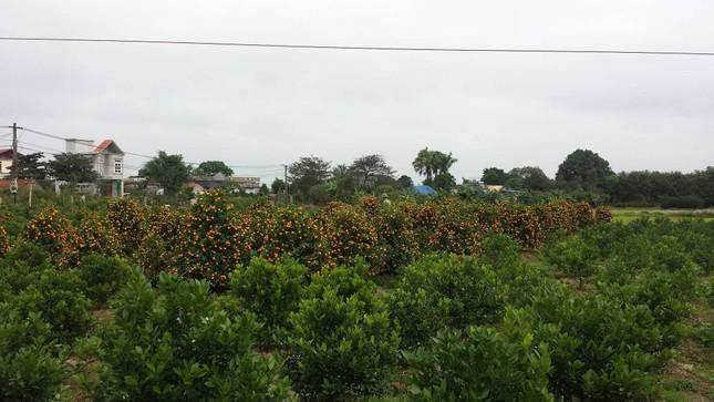 Vườn quất tiền tỷ của lão nông đất Thành Nam - ảnh 1
